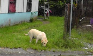 Dogs tend to be thin. Even dogs who have a family don't get pampered and overfed. This is the chubbiest dog we've ever seen in Central America.