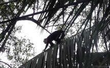 We're wandering towards the center of town, hear something above, and see a troop of monkeys in the trees!