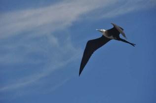 A frigate bird flies overhead.