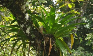 Another huge bromiliad in a tree.