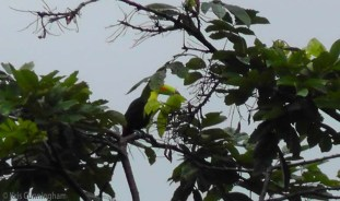 This is a Keel Billed Toucan who unfortunately wanted to hide behind some leaves, making it difficult to get a clear photo.