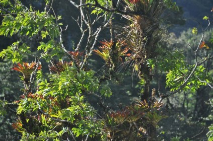 As the sun started to set I like the way the light catches these bromiliads in the tree.