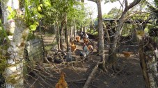 The chicken area. The rooster had some loud things to say, but the two geese were by far the noisiest.