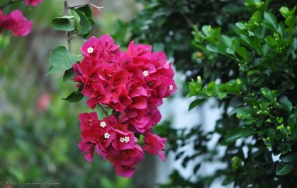 The bougainvillea are blooming, and everywhere you go there are masses of color in people's yards.