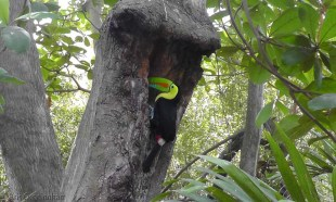 A toucan in a tree!
