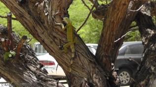 Another iguana.