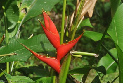 This is only one variety of many heliconia that are growing on the property.