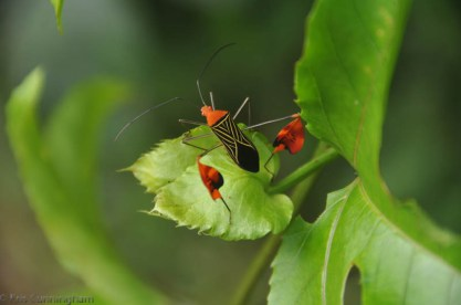 A beautiful flag bug hanging out on the passion vine.