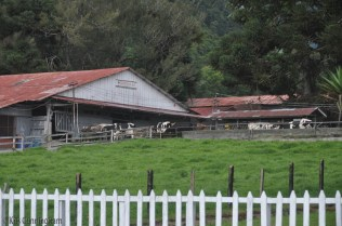 There was a lot of salsa music coming from this barn. I'm not sure if it was to keep the cows happy, or the workers, or both.