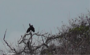 Two vultures roost in a tree