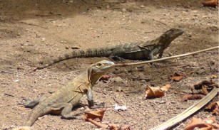 These iguanas were very nice about posing for us