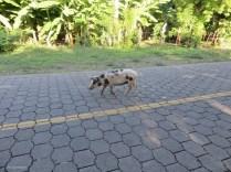 Cute pig in the road