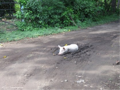 """As I approached the intersection towards the house I came across this scene that totally cracked me up. this definitely is """"happy as a pig in mud""""."""