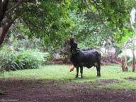La Princessa takes a break from grazing and eats some of the tree