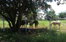 There is a big lot down the street which has recently been fenced in. I wasn't sure why since nothing goes on there, but now there is a bunch of horses enjoying all the tall grass and relaxing under the trees.