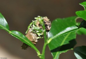 Things got more bizarre from there! Next, I found it cutting of pieces of stem and sticking them to its cocoon.