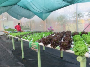 This was a government concern to educate people about hydroponic gardening. I don't know how they get lettuce that beautiful in this hot climate! The man told me they have to use a lot of shading to keep the plants cool.