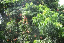 Just look at these beauties in the tree! These are some of the biggest and most colorful mangoes I have found, and they also have a great flavor and texture.