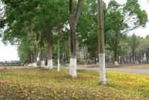 The actual plant is behind these trees. It sure looked pretty there with the carpet of yellow flowers from the trees above.