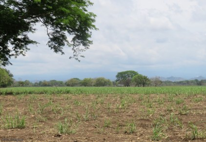 The photos of the harvest were taken on March 21st. Here is the same field on April 14th and the cane is already growing back.