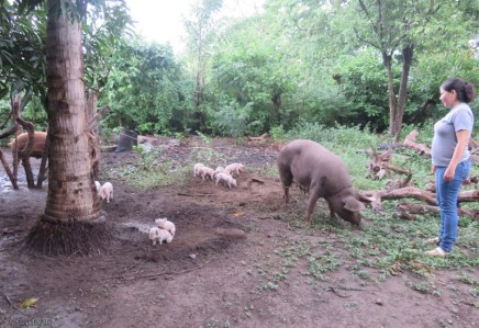 I was taken next door to see Petunia and her new piglets. The pig behind the tree was butchered the next day with the assistance of Ron, and the doctor who used the opportunity for an anatomy lesson and further explanation of the surgery he did on the neighbor. The doctor also helped them chop wood for cooking.