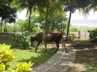 A cow wandered into the yard and was chased off by the neighbors and a couple dogs.