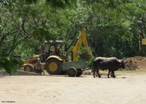 these oxen were working along side the machines