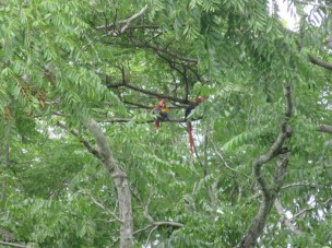 Macaws in a tree