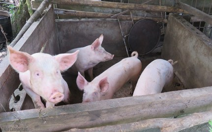 The piggies seemed happy to see us.