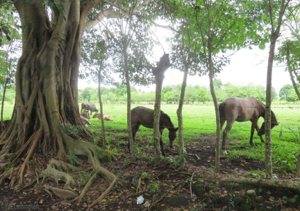 There were a couple horses with the cows