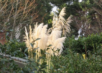 some yards have this beautiful grass with the big plumes