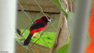 I love these crimson-backed tanagers