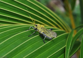 I love these great big grasshoppers. I know they eat plants but they still look so cool