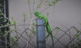 baby iguana on a fence post
