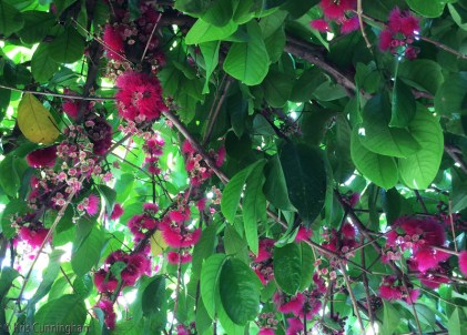 These beautiful flowers are on a tree called mariñon corizon here, or perra in Nicaragua. The fruit is somewhat bland but when cooked, it tastes a lot like apples and can be used in the same ways.