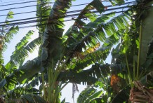 Yes, it is windy. The banana leaves shred a lot in the wind but still seem to function for the plant.