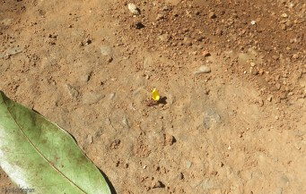 We have leaf cutter ants. They are quite interesting and fascinating, but occasionally they will demolish something you value. Yesterday I noticed flowers and bits of leaves from my ground cover making their way across the cement by the terrace.