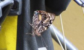 This beautiful butterfly landed on my bicycle the other day. I don't think I've ever seen one like this before. What beautiful and intricate patterns!