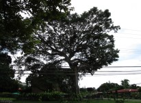 I rode around the neighborhood the other day, which I hadn't done in quite a while. This is my favorite tree. Notice the two story house behind it which looks small in comparison. Someone told me the tree is over 200 years old.