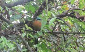 One of my favorites, a Blue-crowned Motmot. It has been a very frequent visitor, and occasionally there are two of them.