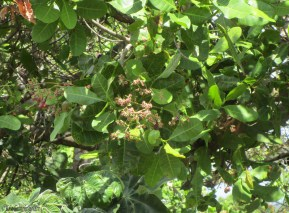 Trees are covered with little pinkish flowers now, and a few nuts are just starting to appear.