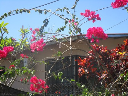 the neighbor's bougainvillea continues to come through the fence and bloom like crazy
