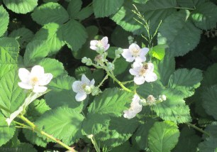 The wild raspberry bushes were blooming