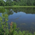 goose family on pond