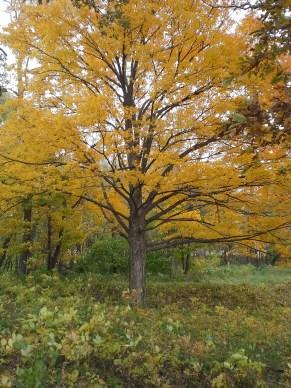 20151019 yellow tree