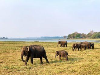 Minneriya National Park Elephants