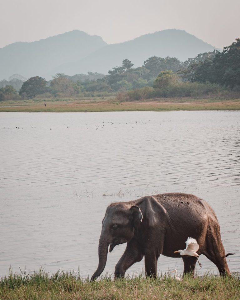 minneriya national park sri lanka elephants