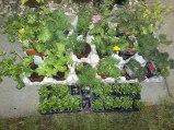 bedding plants 001