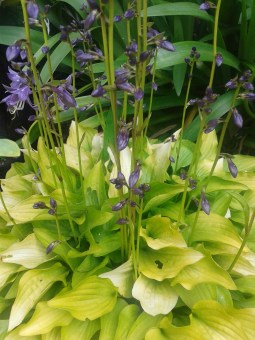 "Hosta ""Hydon Sunset"""