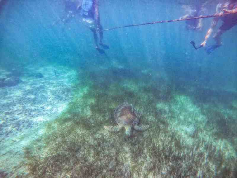 Sea Turtle Feeding off of Ocean Bottom